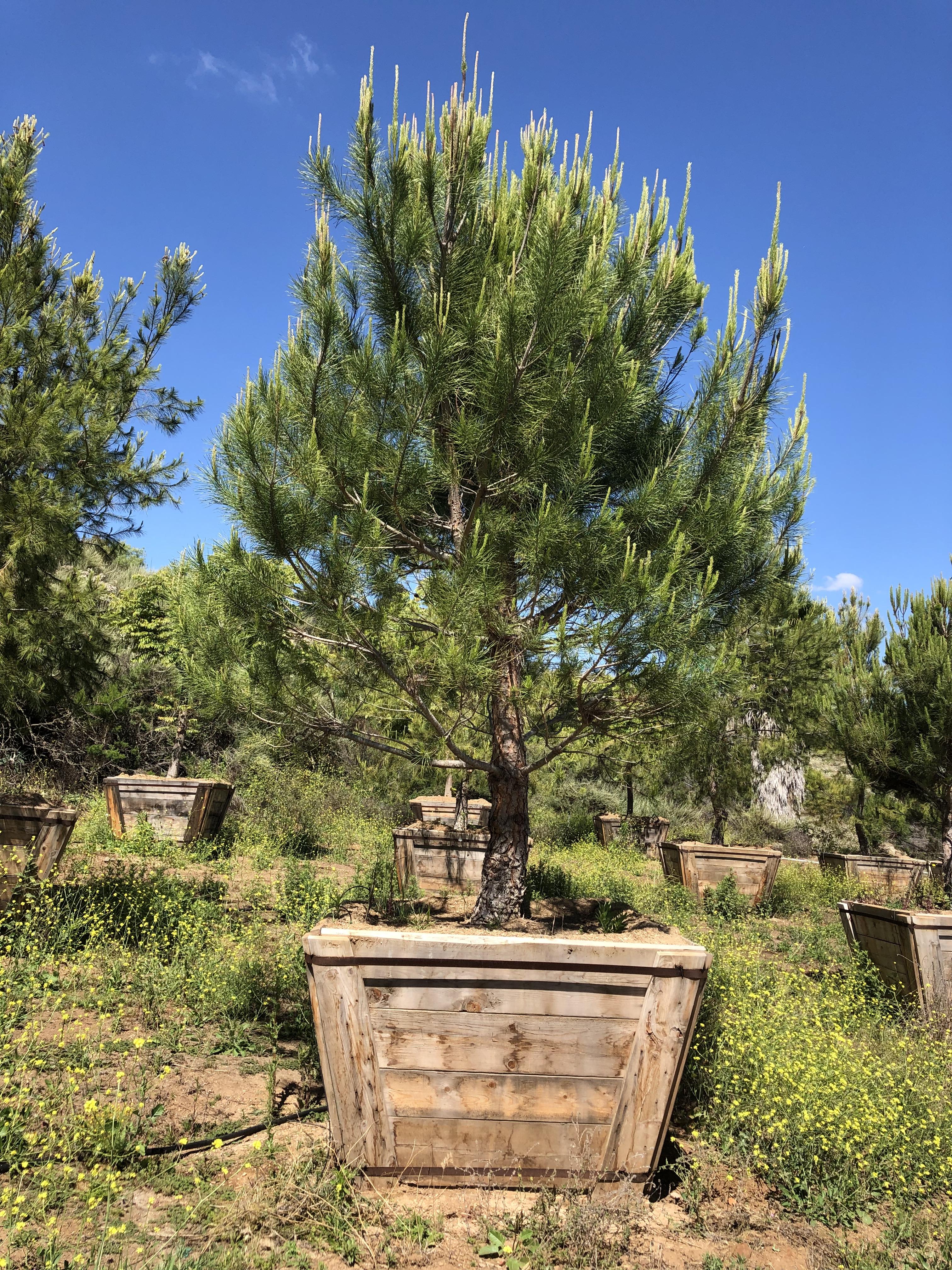Pinus Pinea Italian Stone Pine Big Trees Nursery