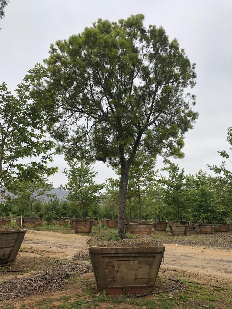 Podocarpus-S-169-60