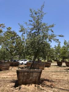 Quercus engelmannii – Engelmann Oak