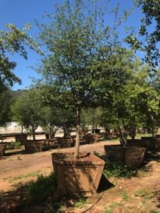 Quercus virginiana – Southern Live Oak