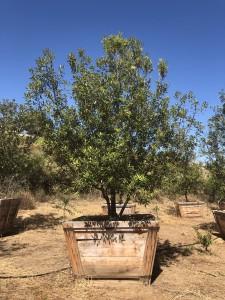 Quercus Ilex – Holly Oak