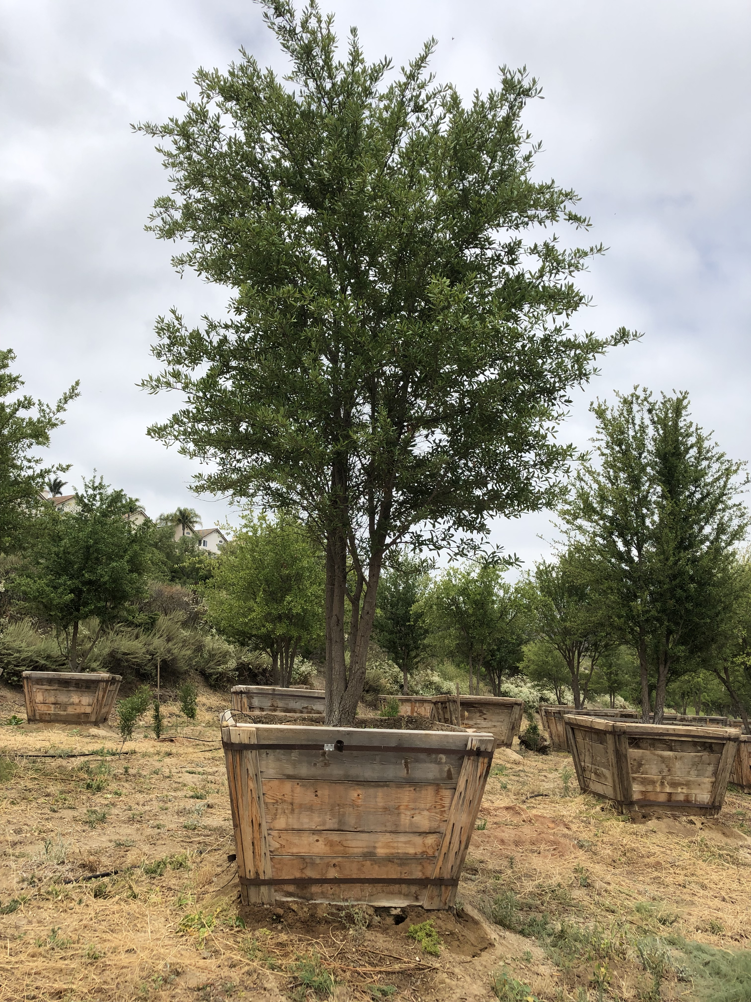 Quercus Virginiana Southern Live Oak Big Trees Nursery